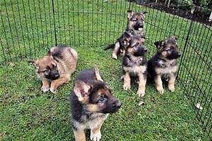 German Shepherd Puppies Perth Perth City Area Preview