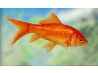 Coldwater Fish Clearance - Orandas, Goldfish, Ranchu and more