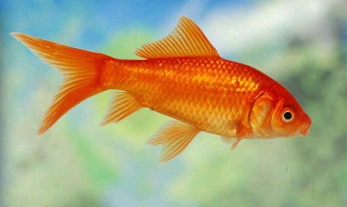 Red comet goldfish - photo#22