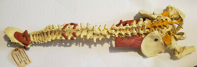 Vintage Spinal Cord Spine Medical Model Legal Courtroom Anatomical Anatomy