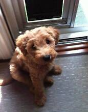 FREE LABRADOODLE TO A GOOD HOME Rowville Knox Area Preview