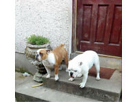 Two British bulldogs