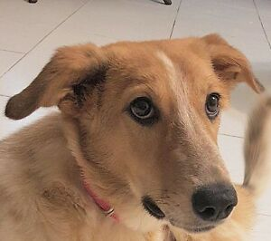 "Young Female Dog - Saluki: ""LEAH (great with cats)"""
