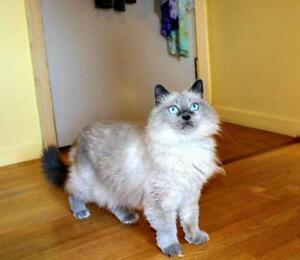 "Senior Female Cat - Balinese: ""Cloud Hunt"" Strathcona County Edmonton Area image 2"