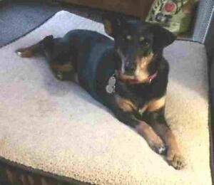 "Adult Female Dog - Doberman Pinscher-Labrador Retriever: ""ROXY"""