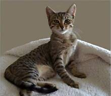 AK1304: Sally - KITTEN for ADOPTION - Vet Work Included High Wycombe Kalamunda Area Preview