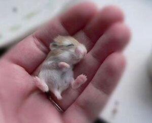 Selling baby Russian dwarf hamster