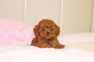 Tiny teacup size hypoallergenic poodle puppies!!