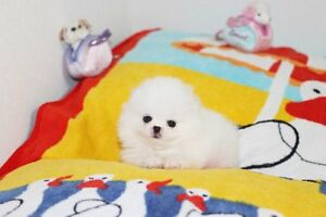 Super Cute and Tiny White Teacup Pomeranian Boy