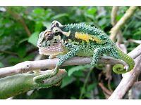 Bradypodion thamnobates, the Natal Midlands Dwarf Chameleon M + F