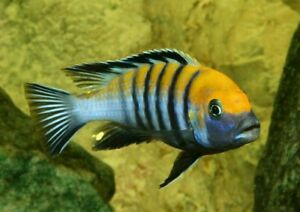 Adult African Cichlids - Cynotilapia Afra Cobue