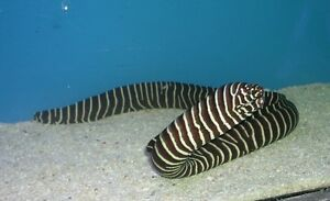 Zebra Eel for saltwater aquarium