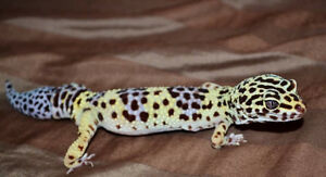 2 leopard gecko looking for experienced owner