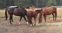 looking for a free lease trail horse