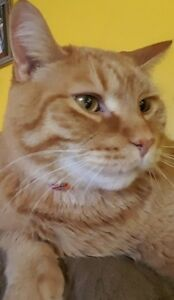 "Adult Male Cat - Tabby-Domestic Short Hair: ""Oliver"""