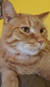 """Adult Male Cat - Tabby-Domestic Short Hair: """"Oliver"""""""