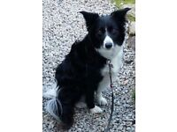 Border collie dog wanted for loving pet will travel.