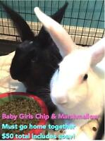 "Baby Female Rabbit - Dutch: ""Chip and Marshmallow"""