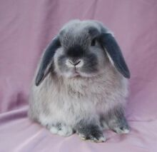 wtb baby male lop rabbit Muswellbrook Muswellbrook Area Preview