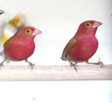 Ruddies finches $69pr Rooty Hill Blacktown Area Preview