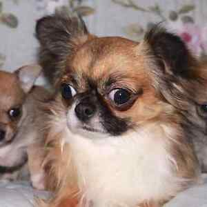 AMAZING REGISTERED CHIHUAHUA PUPPIES