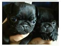 Pug pups non kc registered for a