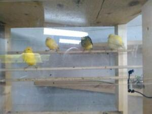 4 Canaries including feeders and cage