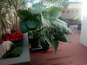 Elephant ear palm Wattle Grove Kalamunda Area Preview