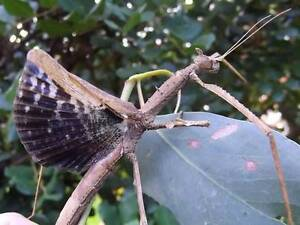 Crowned Stick Insects for sale! Sydney City Inner Sydney Preview