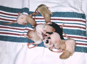 Baby rats looking for their loving & forever homes !