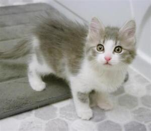 """Baby Female Cat - Domestic Long Hair: """"Colette"""""""