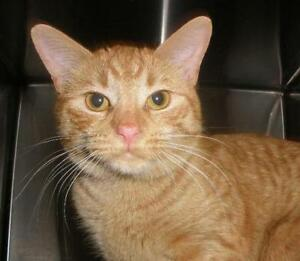 "Young Male Cat - Domestic Short Hair: ""Simon 16 (Belmont)"""