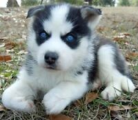 LOOKING FOR: Siberian husky puppy