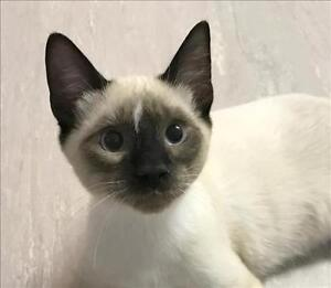 """Young Male Cat - Siamese-Domestic Short Hair: """"Barney"""""""