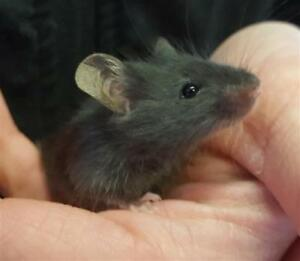 "Baby Male Small & Furry - Mouse: ""Mr. Jingles"""