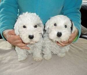 Puppies Sealyham Terrier  (Rare Breed) Pearcedale Casey Area Preview