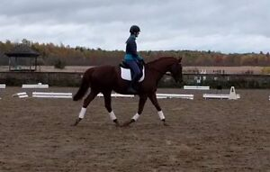 Handsome and well schooled 16.1hh  2007 OTTB gelding for sale Kingston Kingston Area image 2