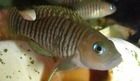 4 shelldweller fish multi's