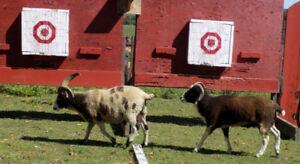 Jacob Sheep  Ewes Rams & Lamp For Sale