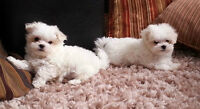 TOY MALTESE PUPPIES/ CHIOTS MALTAIS TOY VENDU/SOLD