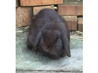 Chocolate Brown Lop Rabbit - with large indoor cage