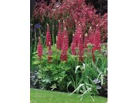 Red lupin gallery red perennial plant cottage garden favourite