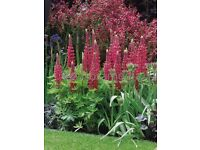 lupin plant red flower cottage garden favourite