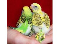 Beautiful baby budgies for sale ready to leave