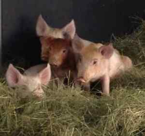 100 Pound weaner pigs for sale