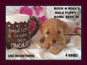 CKC Registered Purebred Toy Poodle Puppies  With 3 Year Warranty