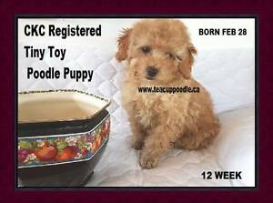 CKC Registered  Tiny Toy Poodle Puppy With 3 year Warranty