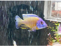 BLUE NEON NAI REEF FRY FOR SALE