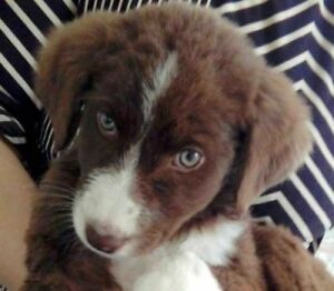 Baby Female  - Border Collie-Chocolate Labrador Retriever