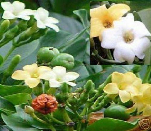 Parfüm-Baum exotische Pflanzen Deko für die Wohnung drinnen Zimmerpflanze Samen
